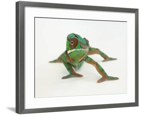 A Panther Chameleon, Furcifer Pardalis-Joel Sartore-Framed Art Print