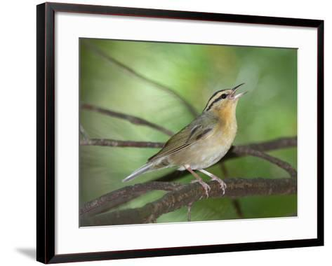 A Male Worm-Eating Warbler Singing a Territorial Song-George Grall-Framed Art Print