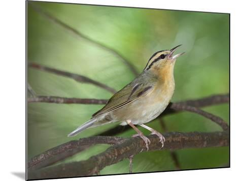 A Male Worm-Eating Warbler Singing a Territorial Song-George Grall-Mounted Photographic Print