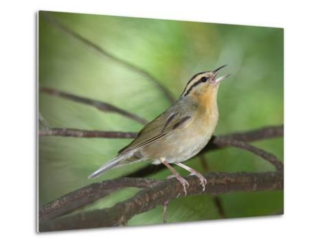 A Male Worm-Eating Warbler Singing a Territorial Song-George Grall-Metal Print