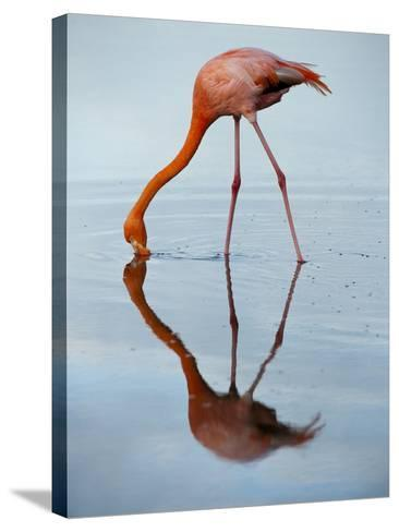 An American Flamingo and its Mirror Reflection in Blue Water-Joel Sartore-Stretched Canvas Print