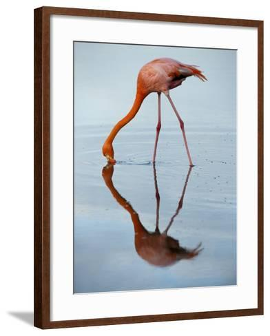An American Flamingo and its Mirror Reflection in Blue Water-Joel Sartore-Framed Art Print