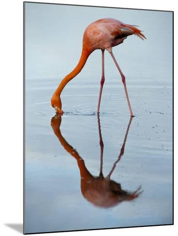An American Flamingo and its Mirror Reflection in Blue Water-Joel Sartore-Mounted Photographic Print
