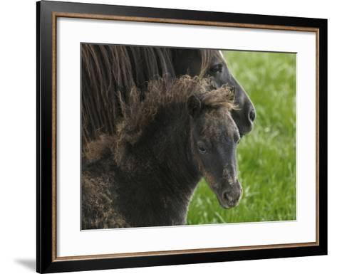 Shetland Ponies on the Lush Rolling Hills of Mid-Wales-Jim Richardson-Framed Art Print