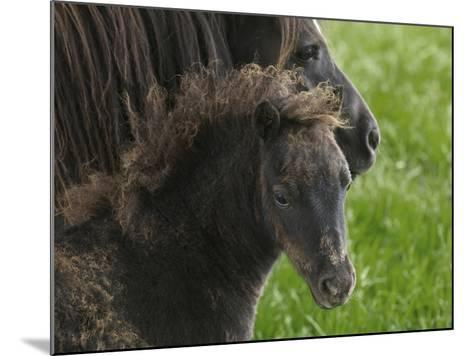 Shetland Ponies on the Lush Rolling Hills of Mid-Wales-Jim Richardson-Mounted Photographic Print