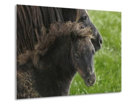 Shetland Ponies on the Lush Rolling Hills of Mid-Wales-Jim Richardson-Metal Print