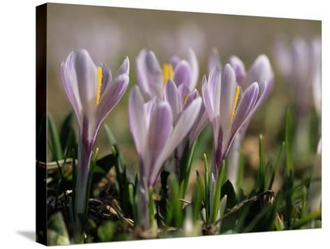 Wild Crocuses Emerging in the Spring-Norbert Rosing-Stretched Canvas Print