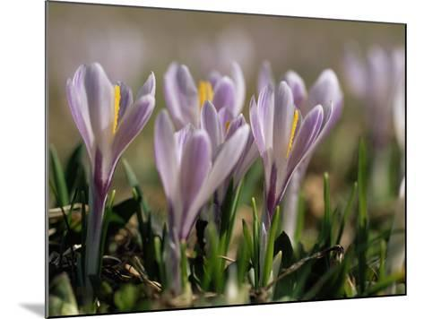 Wild Crocuses Emerging in the Spring-Norbert Rosing-Mounted Photographic Print
