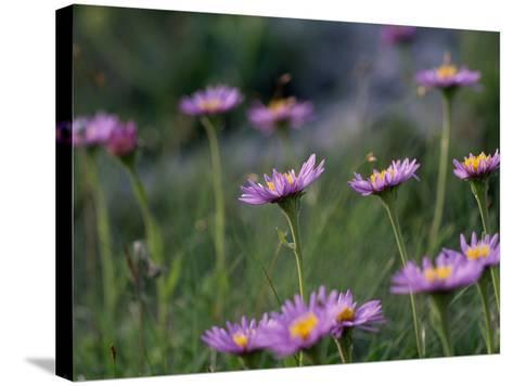 Alpine Asters, Aster Alpinus, in Bloom-Norbert Rosing-Stretched Canvas Print