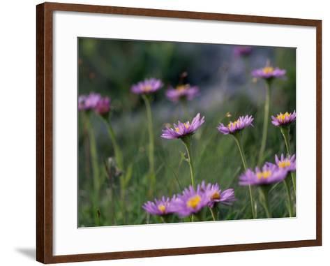 Alpine Asters, Aster Alpinus, in Bloom-Norbert Rosing-Framed Art Print