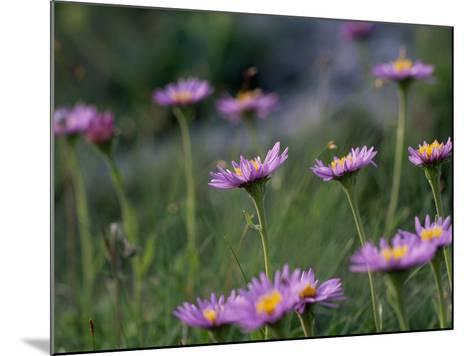 Alpine Asters, Aster Alpinus, in Bloom-Norbert Rosing-Mounted Photographic Print
