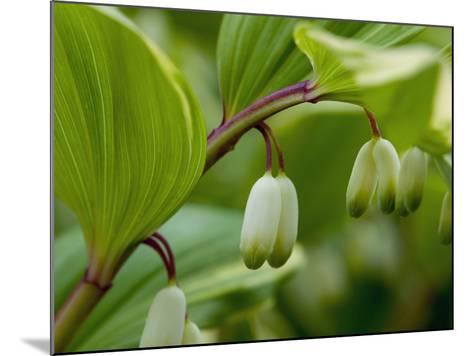 Close Up of Flower Buds of a Solomon's Seal, Polygonatum Commutatum-Darlyne A^ Murawski-Mounted Photographic Print