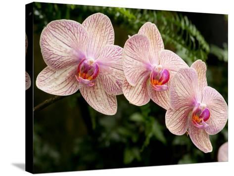 Three Colorful Moth Orchid Flowers, Phalaenopsis Species-Darlyne A^ Murawski-Stretched Canvas Print