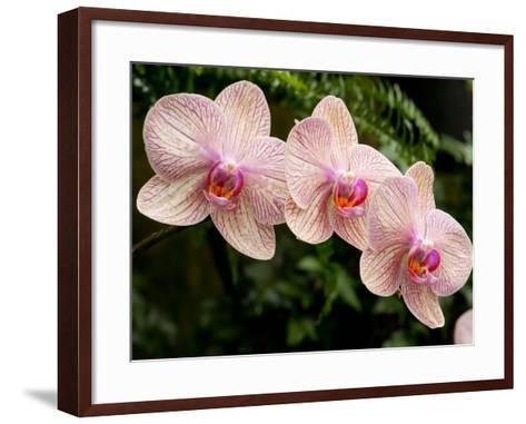 Three Colorful Moth Orchid Flowers, Phalaenopsis Species-Darlyne A^ Murawski-Framed Art Print