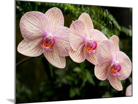 Three Colorful Moth Orchid Flowers, Phalaenopsis Species-Darlyne A^ Murawski-Mounted Photographic Print