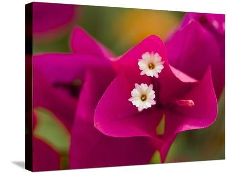 Small White Bougainvillea Flowers Surrounded by Colorful Red Bracts-Tim Laman-Stretched Canvas Print