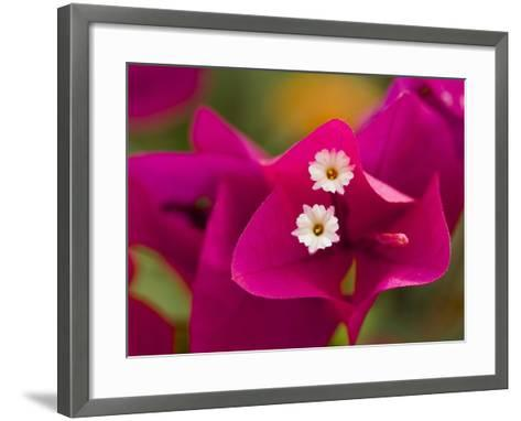 Small White Bougainvillea Flowers Surrounded by Colorful Red Bracts-Tim Laman-Framed Art Print