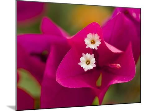 Small White Bougainvillea Flowers Surrounded by Colorful Red Bracts-Tim Laman-Mounted Photographic Print
