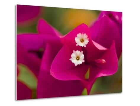 Small White Bougainvillea Flowers Surrounded by Colorful Red Bracts-Tim Laman-Metal Print