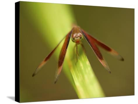 A Close Up of a Red Dragonfly Resting on a Reed-Tim Laman-Stretched Canvas Print
