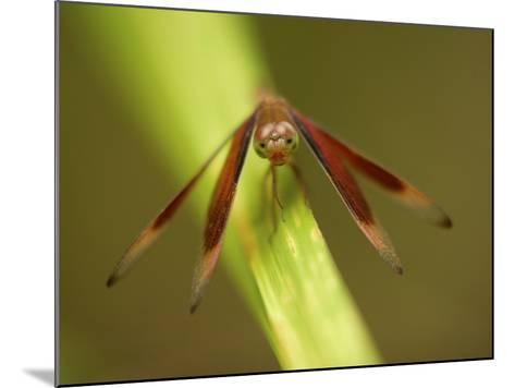 A Close Up of a Red Dragonfly Resting on a Reed-Tim Laman-Mounted Photographic Print