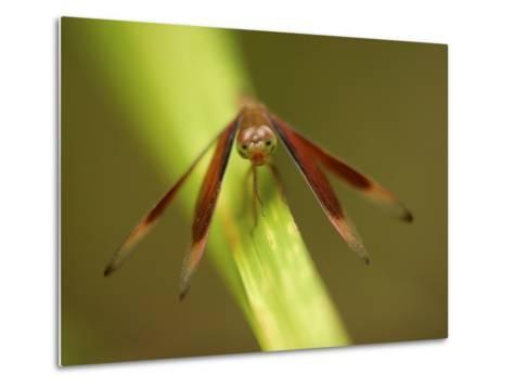 A Close Up of a Red Dragonfly Resting on a Reed-Tim Laman-Metal Print