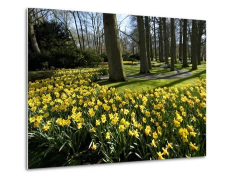 Daffodils in Bloom around Trees in a Public Garden-James P^ Blair-Metal Print