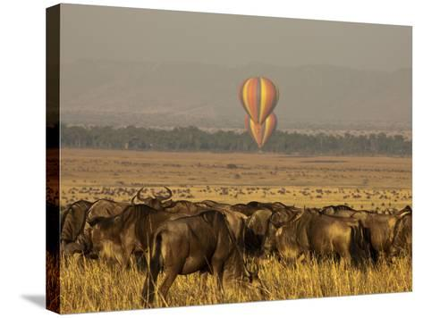 A Herd of Migrating Wildebeests, Connochaetes Taurinus-Beverly Joubert-Stretched Canvas Print