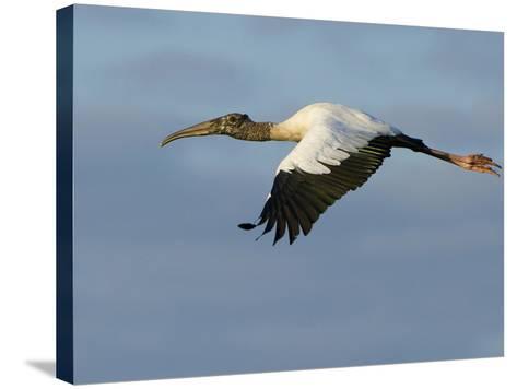 Wood Stork, Mycteria Americana, in Flight-Paul Sutherland-Stretched Canvas Print