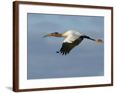 Wood Stork, Mycteria Americana, in Flight-Paul Sutherland-Framed Art Print