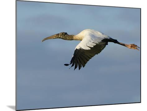 Wood Stork, Mycteria Americana, in Flight-Paul Sutherland-Mounted Photographic Print