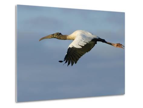 Wood Stork, Mycteria Americana, in Flight-Paul Sutherland-Metal Print