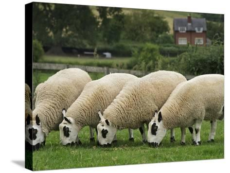 The Distinctive Black and White Faces of Kerry Hill Sheep-Jim Richardson-Stretched Canvas Print