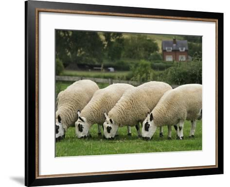 The Distinctive Black and White Faces of Kerry Hill Sheep-Jim Richardson-Framed Art Print