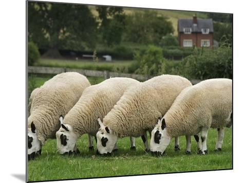 The Distinctive Black and White Faces of Kerry Hill Sheep-Jim Richardson-Mounted Photographic Print