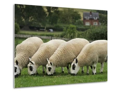 The Distinctive Black and White Faces of Kerry Hill Sheep-Jim Richardson-Metal Print