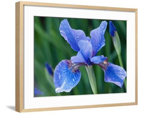 Close Up of a Siberian Iris Flower and Buds, Iris Sibirica, in Spring-Darlyne A^ Murawski-Framed Art Print