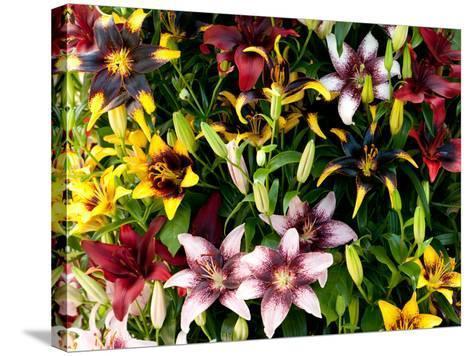 A Showy Arrangement of a Mix of Lily Flowers, Lilium Species-Darlyne A^ Murawski-Stretched Canvas Print