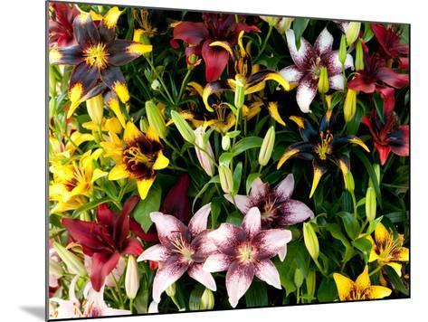 A Showy Arrangement of a Mix of Lily Flowers, Lilium Species-Darlyne A^ Murawski-Mounted Photographic Print