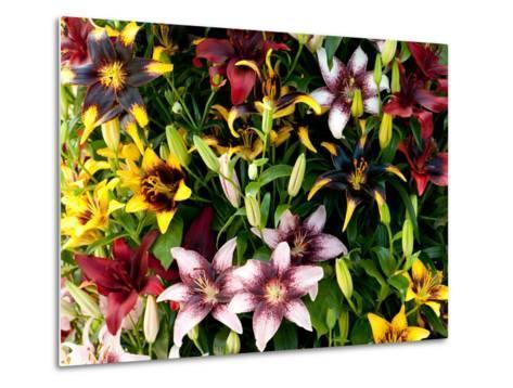 A Showy Arrangement of a Mix of Lily Flowers, Lilium Species-Darlyne A^ Murawski-Metal Print