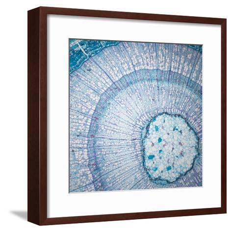 Microscopic Cross Section of a Basswood Stem-Greg Dale-Framed Art Print