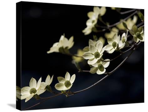 Close Up of a Pacific Dogwood Tree in Bloom-Marc Moritsch-Stretched Canvas Print