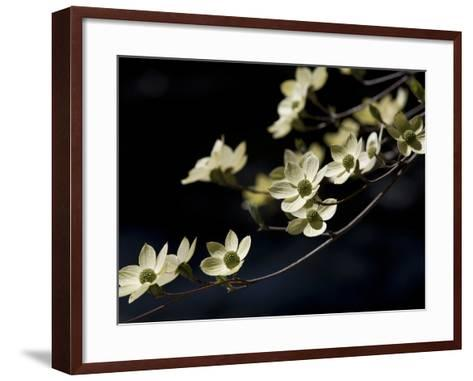 Close Up of a Pacific Dogwood Tree in Bloom-Marc Moritsch-Framed Art Print