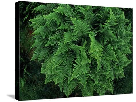 Fisheye Lens View of a Vibrant Green Fern-Norbert Rosing-Stretched Canvas Print