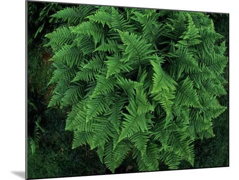 Fisheye Lens View of a Vibrant Green Fern-Norbert Rosing-Mounted Photographic Print
