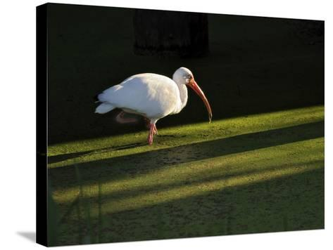 A White Ibis Hunts for Food in Shallow Duckweed-Covered Water-Raymond Gehman-Stretched Canvas Print