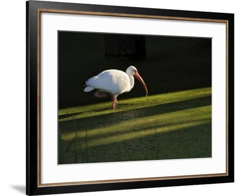 A White Ibis Hunts for Food in Shallow Duckweed-Covered Water-Raymond Gehman-Framed Art Print