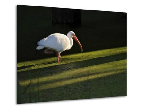 A White Ibis Hunts for Food in Shallow Duckweed-Covered Water-Raymond Gehman-Metal Print