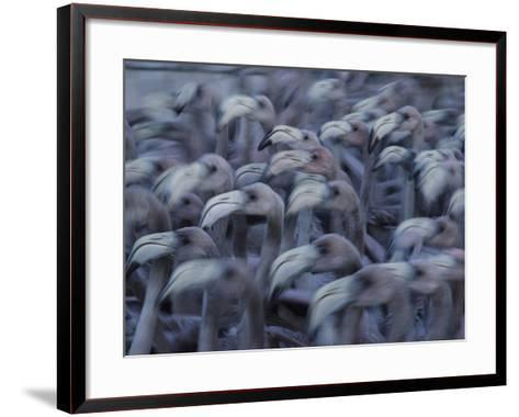 Young Caribbean Flamingos are Herded into an Enclosure to Be Banded-Klaus Nigge-Framed Art Print