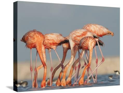 Pigments in Brine Shrimp Give Flamingo Feathers their Coral Hue-Klaus Nigge-Stretched Canvas Print